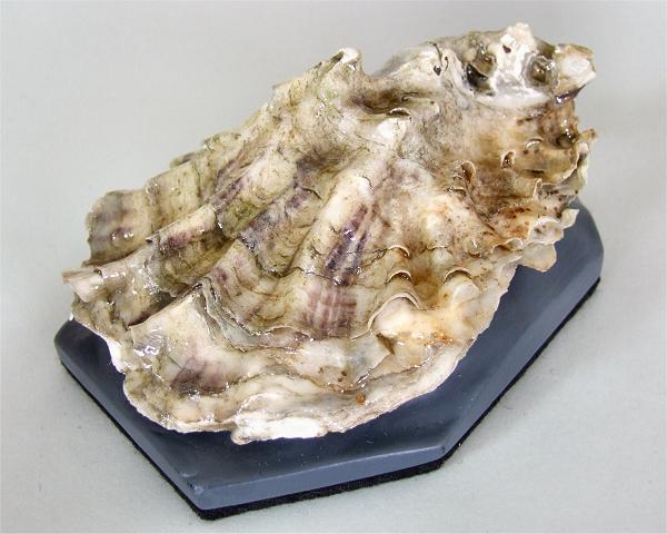 große perle mit muschel vom edelkontor